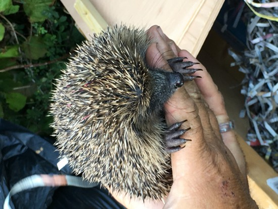 Ourcfirst rescue hedgehog!